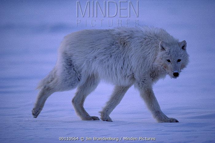 Arctic Wolf (Canis lupus) walking in snow, Ellesmere Island, Nunavut, Canada  -  Jim Brandenburg