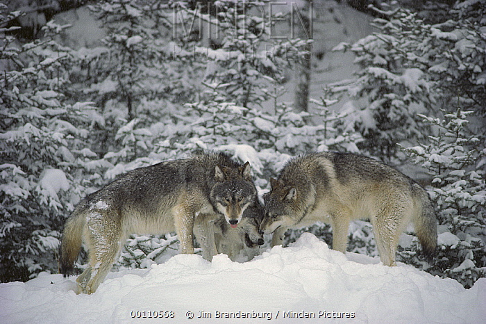 Timber Wolf (Canis lupus) trio in snow, Minnesota  -  Jim Brandenburg