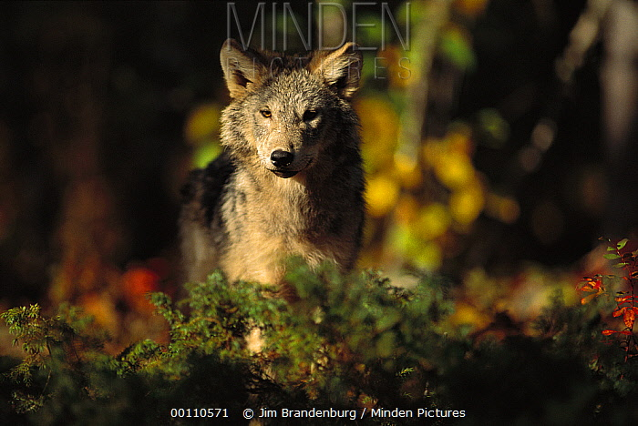 Timber Wolf (Canis lupus) juvenile in forest, Minnesota  -  Jim Brandenburg