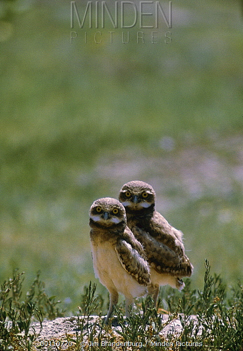 Burrowing Owl (Athene cunicularia) pair at burrow entrance, South Dakota  -  Jim Brandenburg