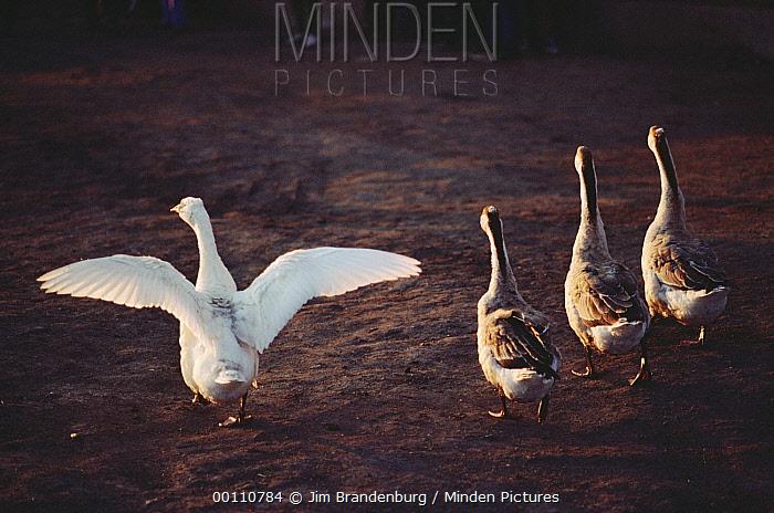 Domestic Goose group walking on dirt road, China  -  Jim Brandenburg