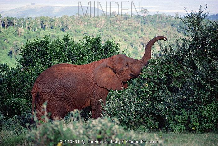African Elephant (Loxodonta africana) feeding on tree, Aberdare National Park, Kenya  -  Jim Brandenburg
