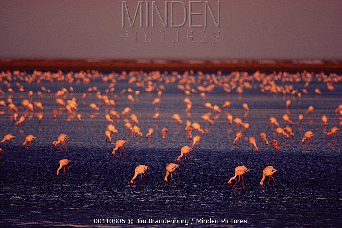 Lesser Flamingo (Phoenicopterus minor) flock feeding in lagoon, Namibia  -  Jim Brandenburg