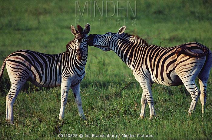 Zebra (Equus quagga) young males fighting, South Africa  -  Jim Brandenburg