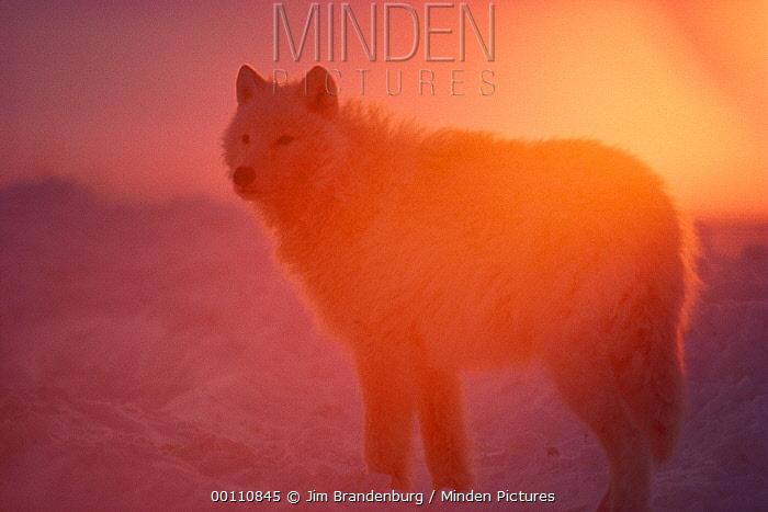 Arctic Wolf (Canis lupus) silhouetted at sunset, Ellesmere Island, Nunavut, Canada  -  Jim Brandenburg