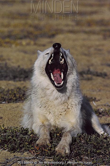 Arctic Wolf (Canis lupus) yawning, Ellesmere Island, Nunavut, Canada  -  Jim Brandenburg