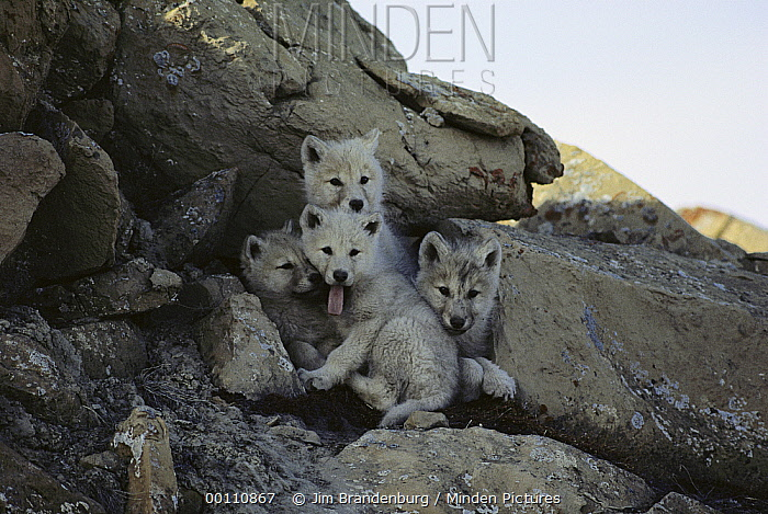 Arctic Wolf (Canis lupus) pups at den entrance, Ellesmere Island, Nunavut, Canada  -  Jim Brandenburg
