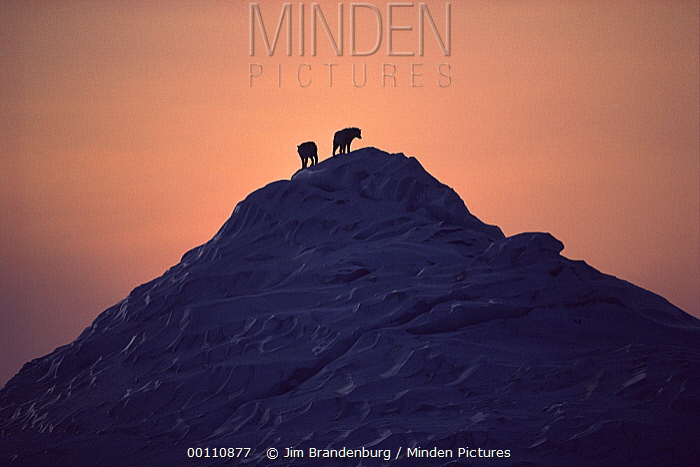 Arctic Wolf (Canis lupus) pair silhouetted on iceberg, Ellesmere Island, Nunavut, Canada  -  Jim Brandenburg