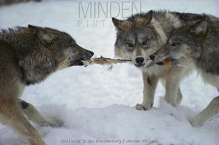 Timber Wolf (Canis lupus) trio tugging on White-tailed Deer (Odocoileus virginianus) skin, Minnesota  -  Jim Brandenburg
