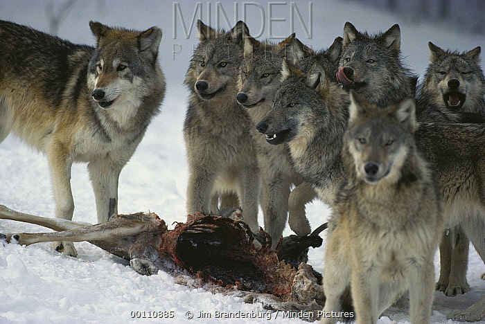 Timber Wolf (Canis lupus) pack at White-tailed Deer (Odocoileus virginianus) kill, Minnesota  -  Jim Brandenburg