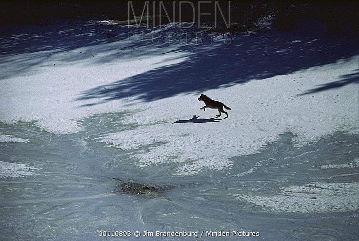 Timber Wolf (Canis lupus) running across frozen lake, Minnesota  -  Jim Brandenburg