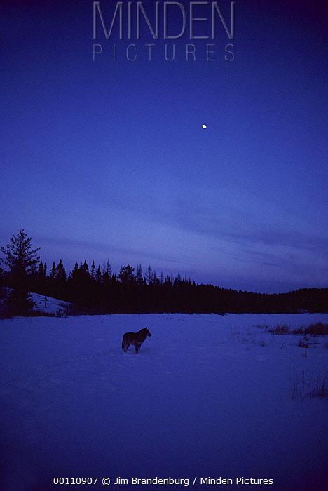 Timber Wolf (Canis lupus) at twilight under moon, Minnesota  -  Jim Brandenburg