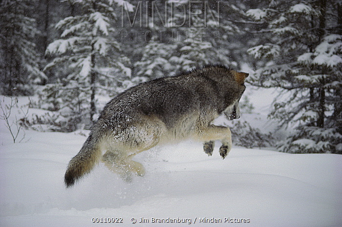 Timber Wolf (Canis lupus) pouncing on mouse under the snow, Minnesota  -  Jim Brandenburg