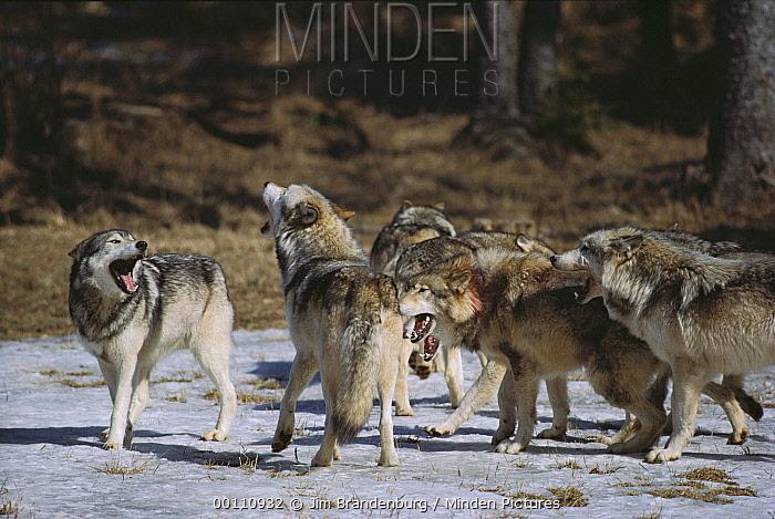 Timber Wolf (Canis lupus) pack howling, Nova Scotia, Canada  -  Jim Brandenburg