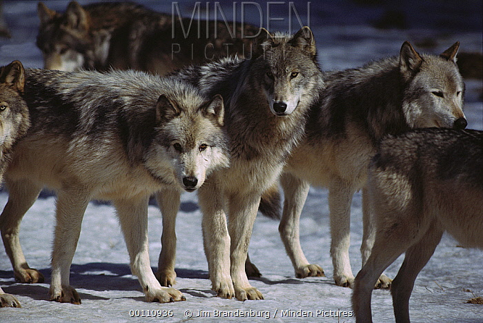 Timber Wolf (Canis lupus) pack, Minnesota  -  Jim Brandenburg