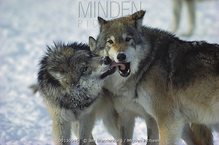 Timber Wolf (Canis lupus) submissive individual showing affection toward dominant male, Minnesota  -  Jim Brandenburg