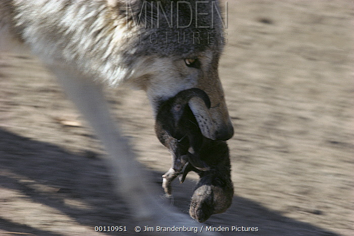 Timber Wolf (Canis lupus) mother carrying pup in her mouth, Minnesota  -  Jim Brandenburg