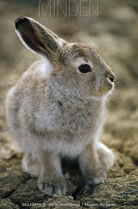 Arctic Hare (Lepus arcticus) baby, Ellesmere Island, Nunavut, Canada  -  Jim Brandenburg