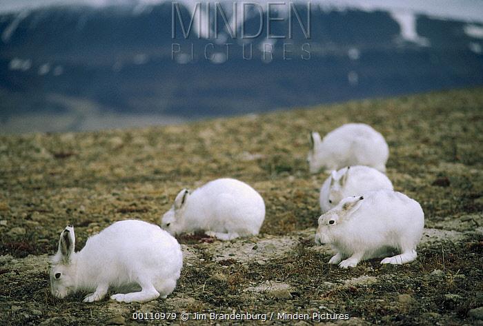 Arctic Hare (Lepus arcticus) group feeding on tundra vegetation, Ellesmere Island, Nunavut, Canada  -  Jim Brandenburg