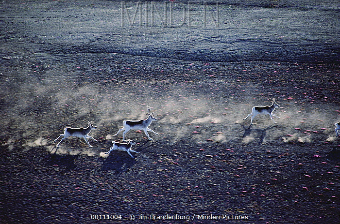 Peary Caribou (Rangifer tarandus pearyi) herd running across tundra, Ellesmere Island, Nunavut, Canada  -  Jim Brandenburg