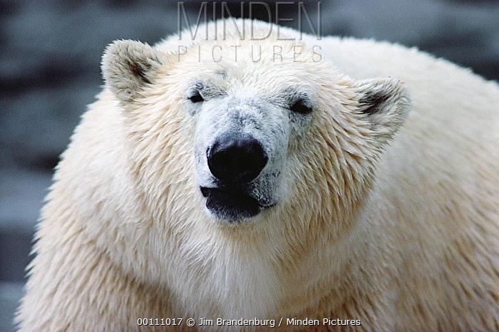 Polar Bear (Ursus maritimus) portrait, Churchill, Manitoba, Canada  -  Jim Brandenburg