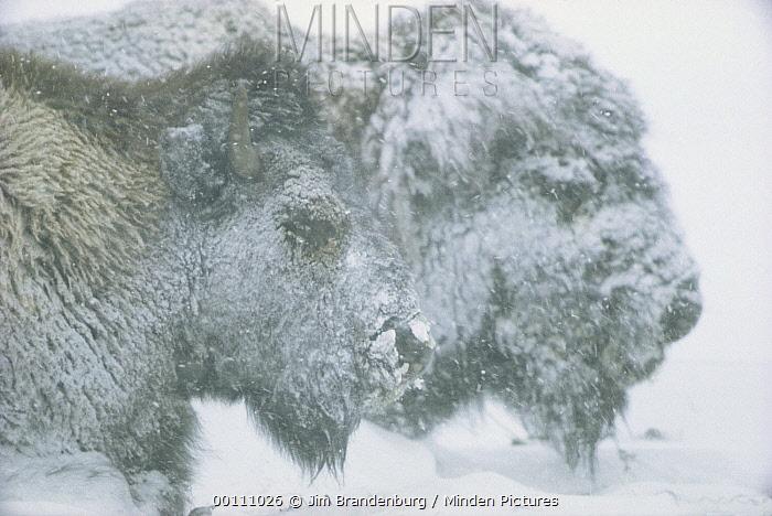 American Bison (Bison bison) pair in blizzard, Minnesota  -  Jim Brandenburg