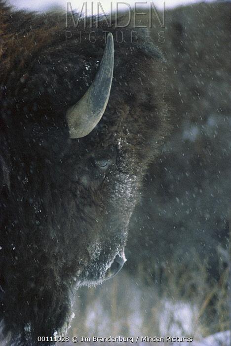 American Bison (Bison bison) in snowfall, Custer State Park, South Dakota  -  Jim Brandenburg