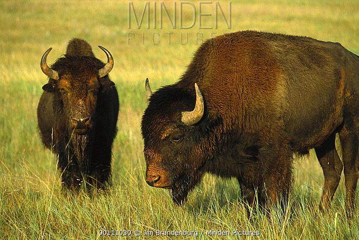 American Bison (Bison bison) pair on prairie, Wind Cave National Park, South Dakota  -  Jim Brandenburg