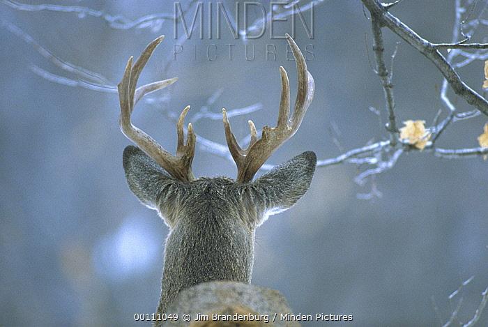 White-tailed Deer (Odocoileus virginianus) male, Minnesota  -  Jim Brandenburg