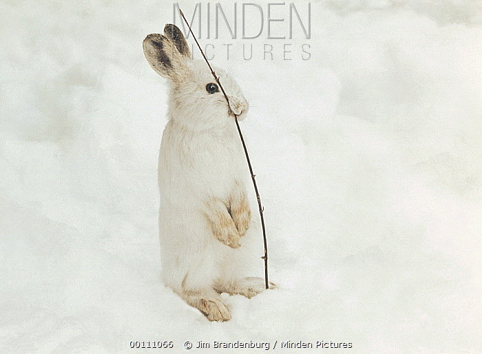 Snowshoe Hare (Lepus americanus) eating twig in winter, Minnesota
