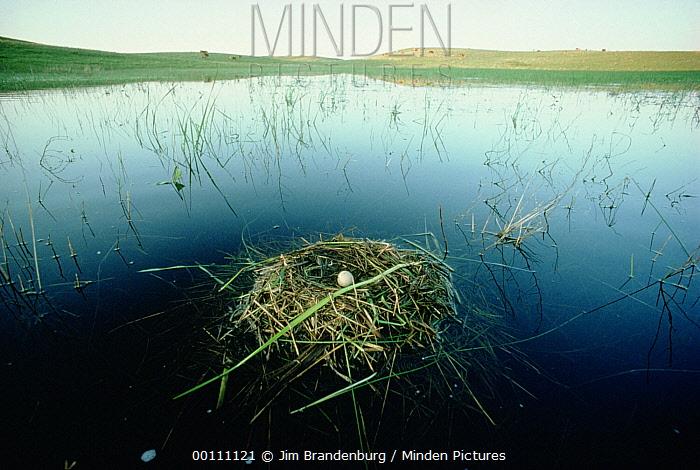 Western Grebe (Aechmophorus occidentalis) nest with egg floating in prairie pothole, Aberdeen, South Dakota  -  Jim Brandenburg