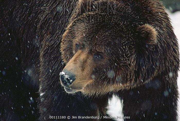 Grizzly Bear (Ursus arctos horribilis) adult in zoo, Minnesota  -  Jim Brandenburg