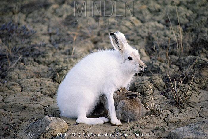Arctic Hare (Lepus arcticus) nursing young, Ellesmere Island, Nunavut, Canada  -  Jim Brandenburg