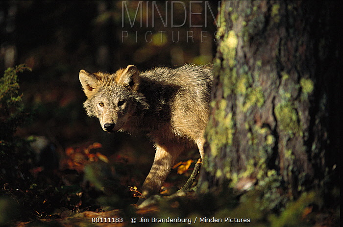 Timber Wolf (Canis lupus) juvenile in forest, Minnesota  -  Jim Brandenburg