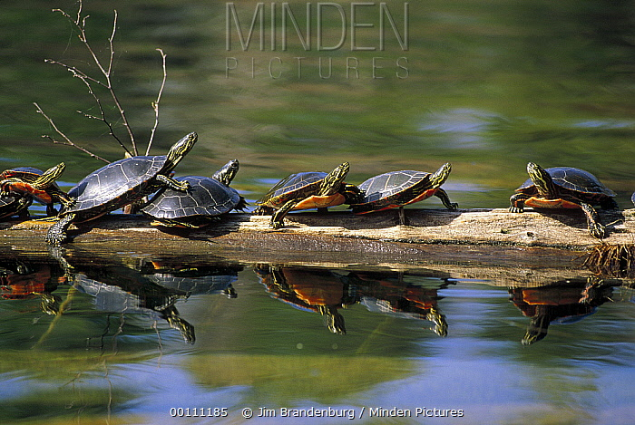 Painted Turtle (Chrysemys picta) group sunning on log, Minnesota  -  Jim Brandenburg