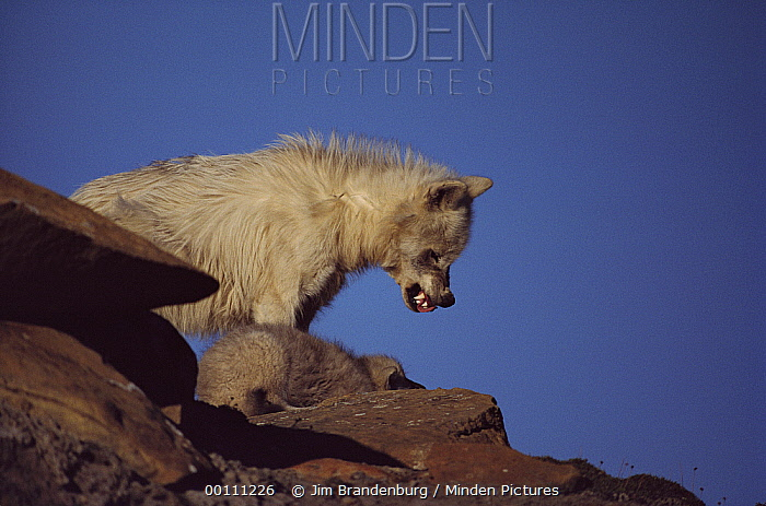 Arctic Wolf (Canis lupus) juvenile scolding submissive pup, Ellesmere Island, Nunavut, Canada  -  Jim Brandenburg
