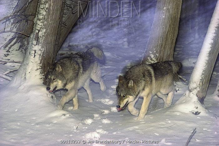 Timber Wolf (Canis lupus) pair running through boreal forest at night, Minnesota  -  Jim Brandenburg