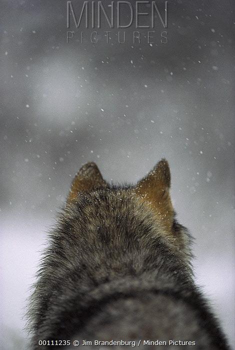 Timber Wolf (Canis lupus) in snow storm, Minnesota  -  Jim Brandenburg