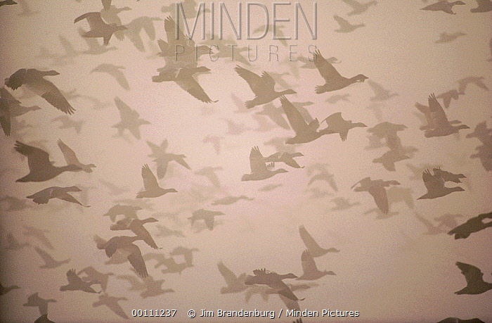 Snow Goose (Chen caerulescens) flock flying, California  -  Jim Brandenburg
