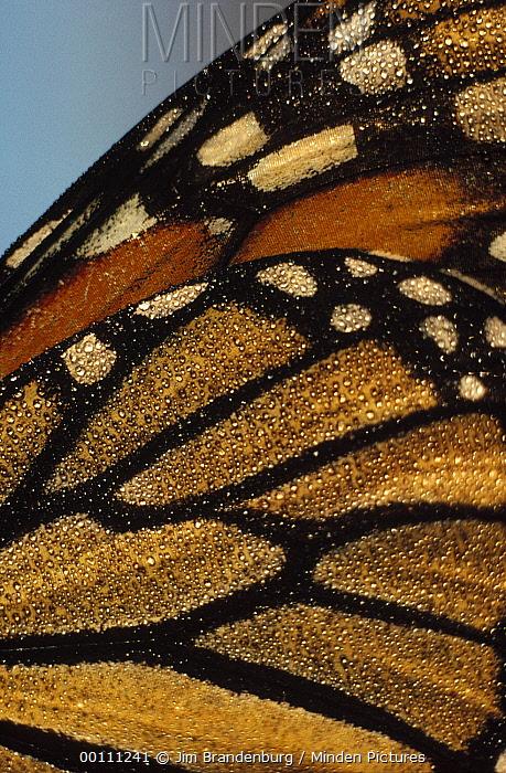 Monarch (Danaus plexippus) butterfly wing, South Dakota  -  Jim Brandenburg