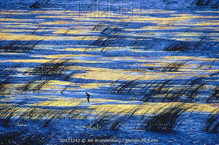 Black Tern (Chlidonias niger) flying over prairie slough, North Dakota  -  Jim Brandenburg