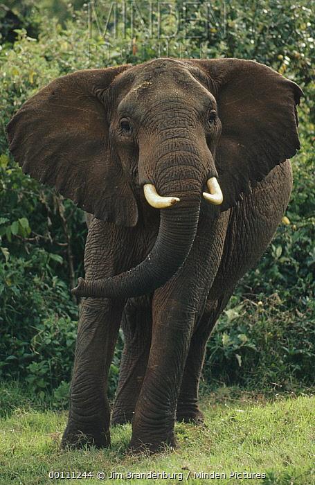 African Elephant (Loxodonta africana) in defensive posture, Kenya  -  Jim Brandenburg
