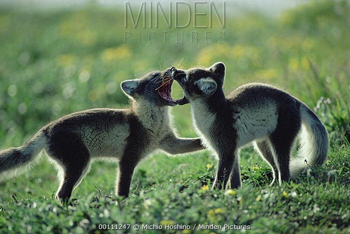 Arctic Fox (Alopex lagopus) two pups playing, Alaska  -  Michio Hoshino