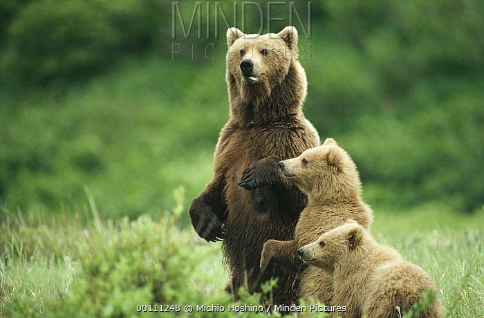 Grizzly Bear (Ursus arctos horribilis) mother and two cubs, Alaska  -  Michio Hoshino
