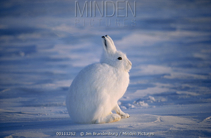 Arctic Hare (Lepus arcticus) camouflaged on snow, Ellesmere Island, Nunavut, Canada  -  Jim Brandenburg