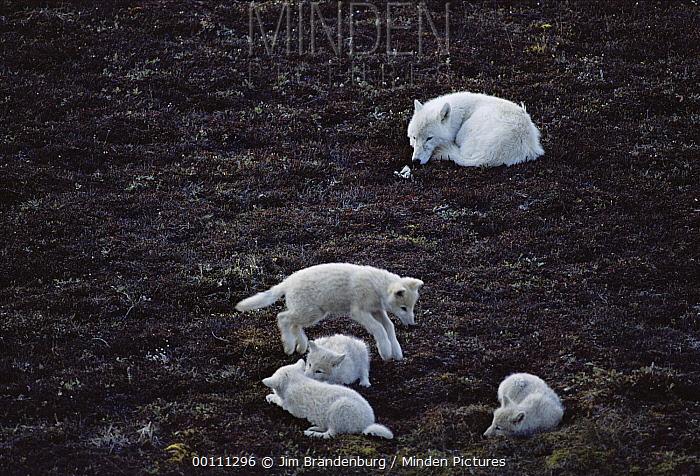 Arctic Wolf (Canis lupus) pups playing, Ellesmere Island, Nunavut, Canada  -  Jim Brandenburg