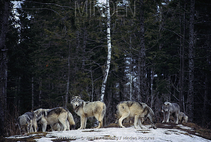 Timber Wolf (Canis lupus) pack at edge of forest, Minnesota  -  Jim Brandenburg