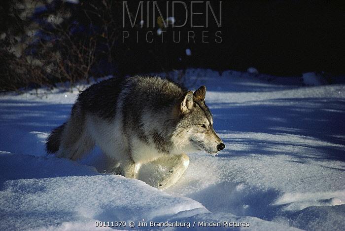 Timber Wolf (Canis lupus) walking through deep snow, Minnesota  -  Jim Brandenburg