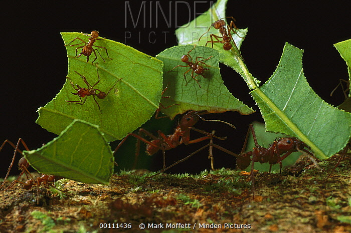 Leafcutter Ant (Atta cephalotes) workers carrying leaves to nest, French Guiana  -  Mark Moffett
