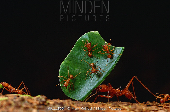 Leafcutter Ant (Atta cephalotes) worker carries leaf with its jaws full, workers carrying leaves must rely on a special cast of smaller ants riding on the leaves to defend against Phorid fly (Phoridae) attack, French Guiana  -  Mark Moffett